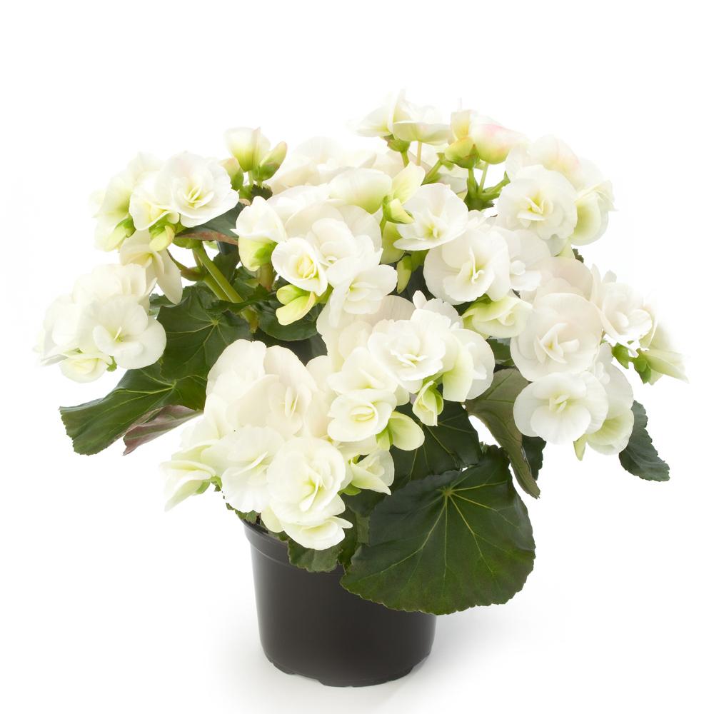 Begonia BK Collection Glory White℗ - Beekenkamp Plants