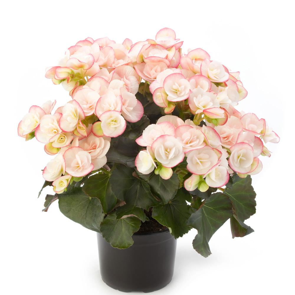 Begonia Ilona Collection Camilla