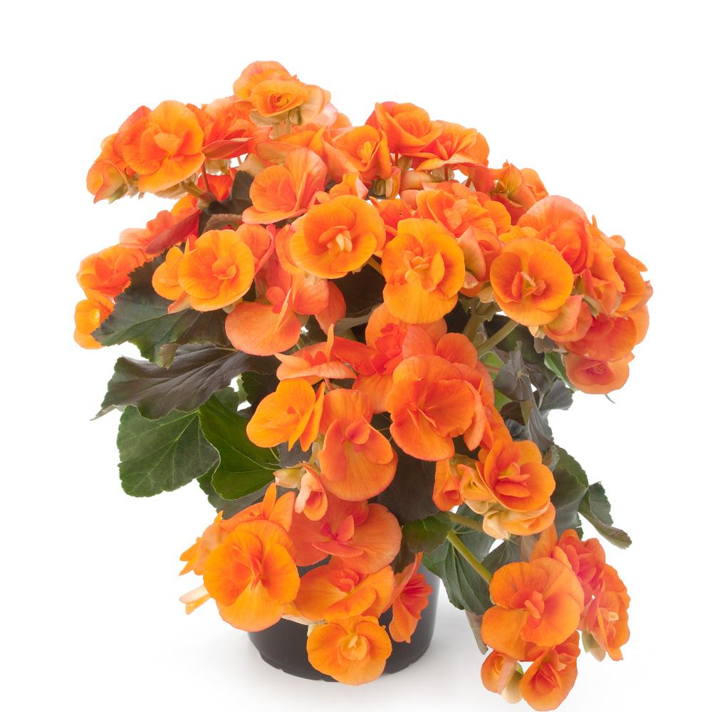 Begonia Ilona Collection Batik