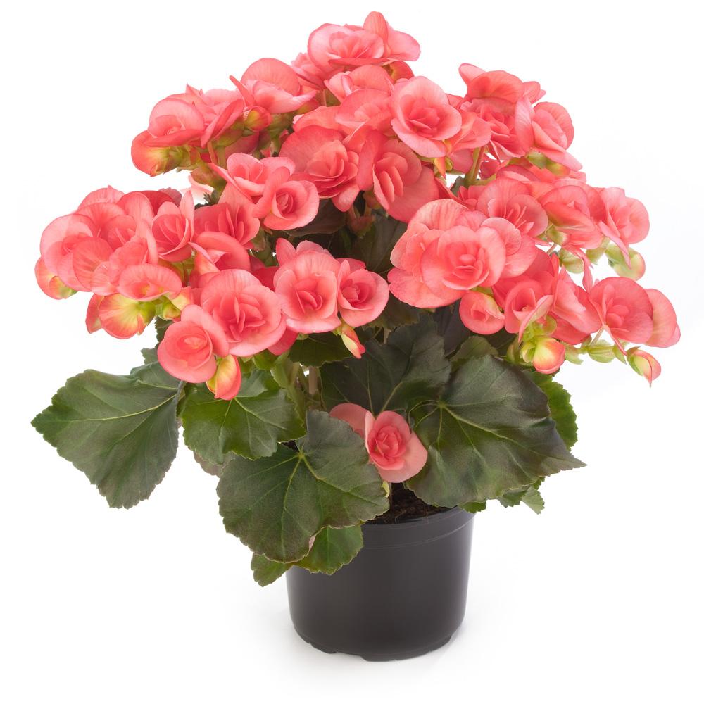 begonia ilona collection sandrine beekenkamp plants. Black Bedroom Furniture Sets. Home Design Ideas