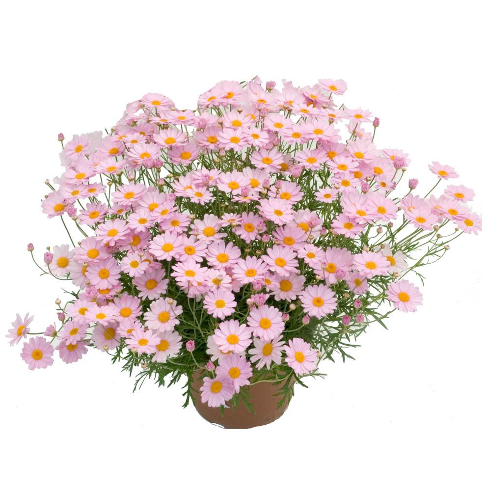 Plantas para arriates anuales a partir de esqueje - Plantas para arriates ...