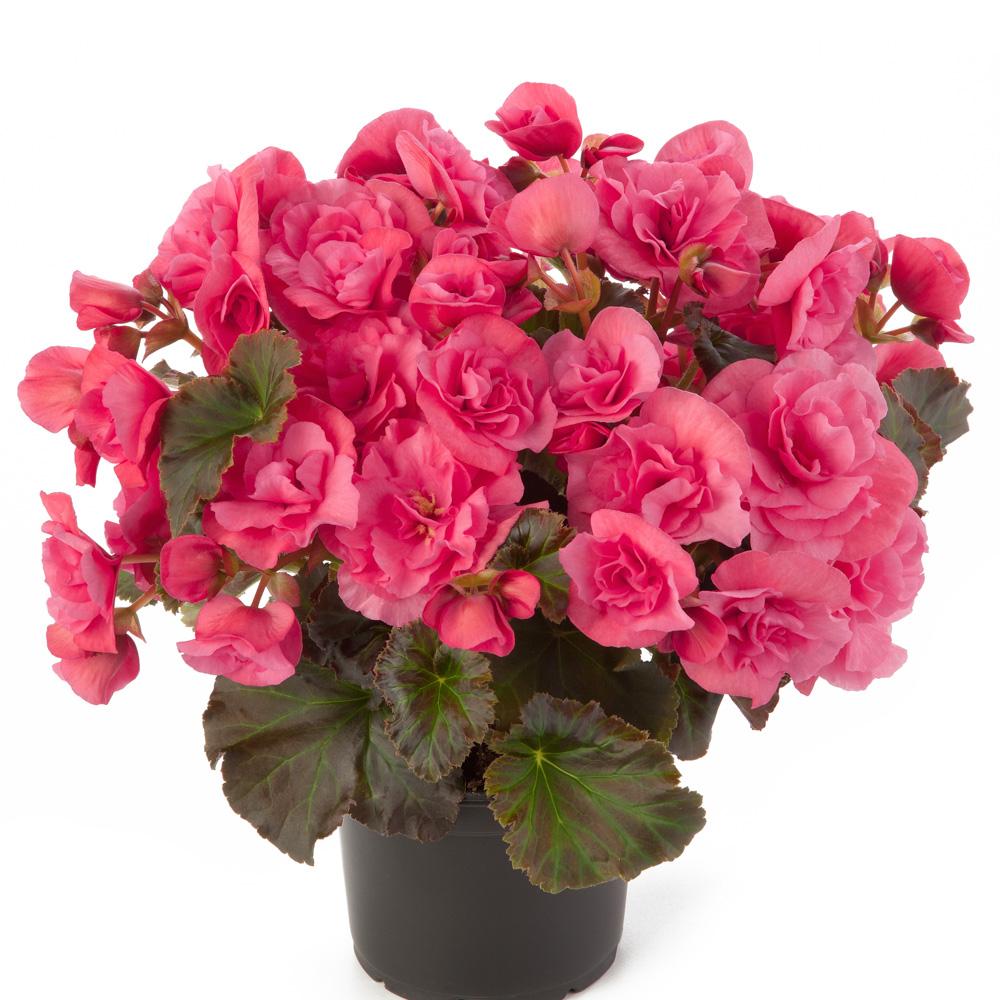begonia solenia light pink beekenkamp plants. Black Bedroom Furniture Sets. Home Design Ideas