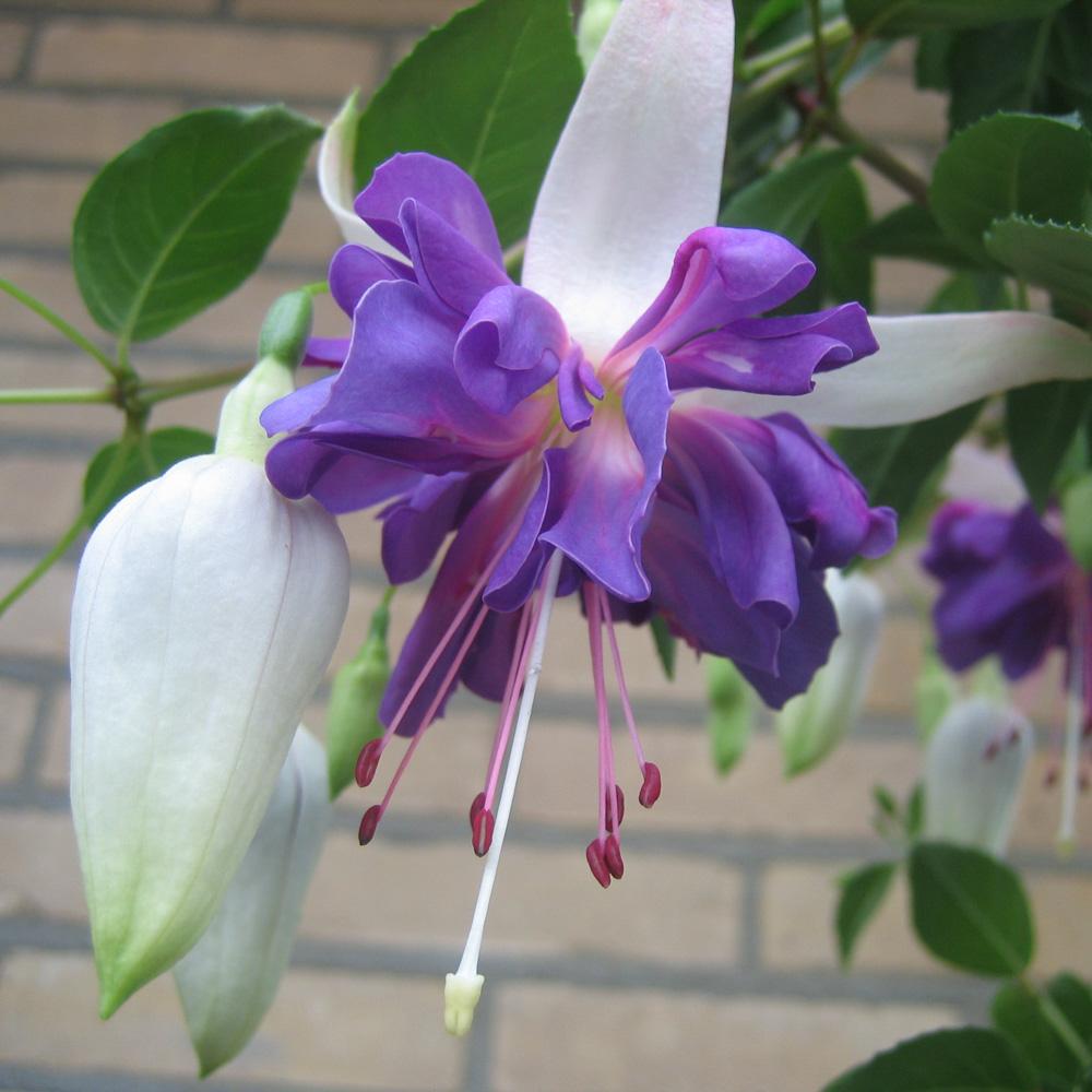 Домашние цветы фото и названия уход фуксия