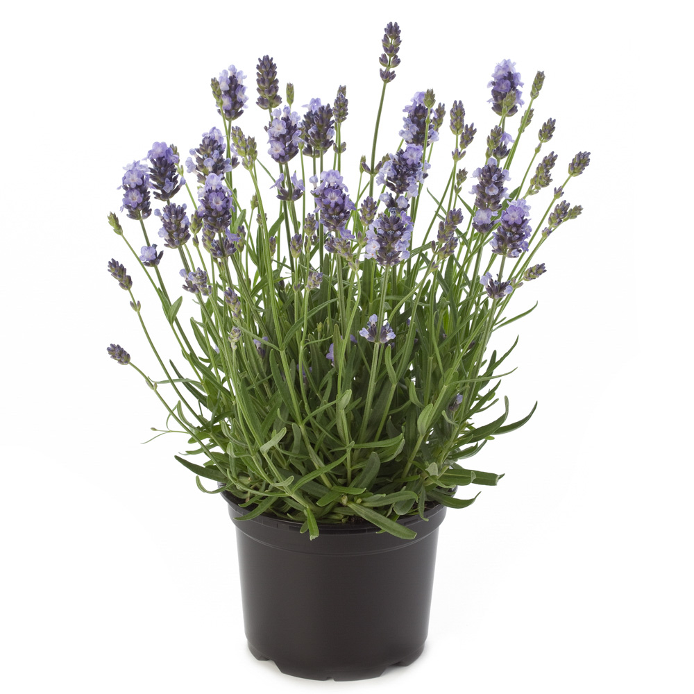 Lavandula Valensole® Light Blue℗