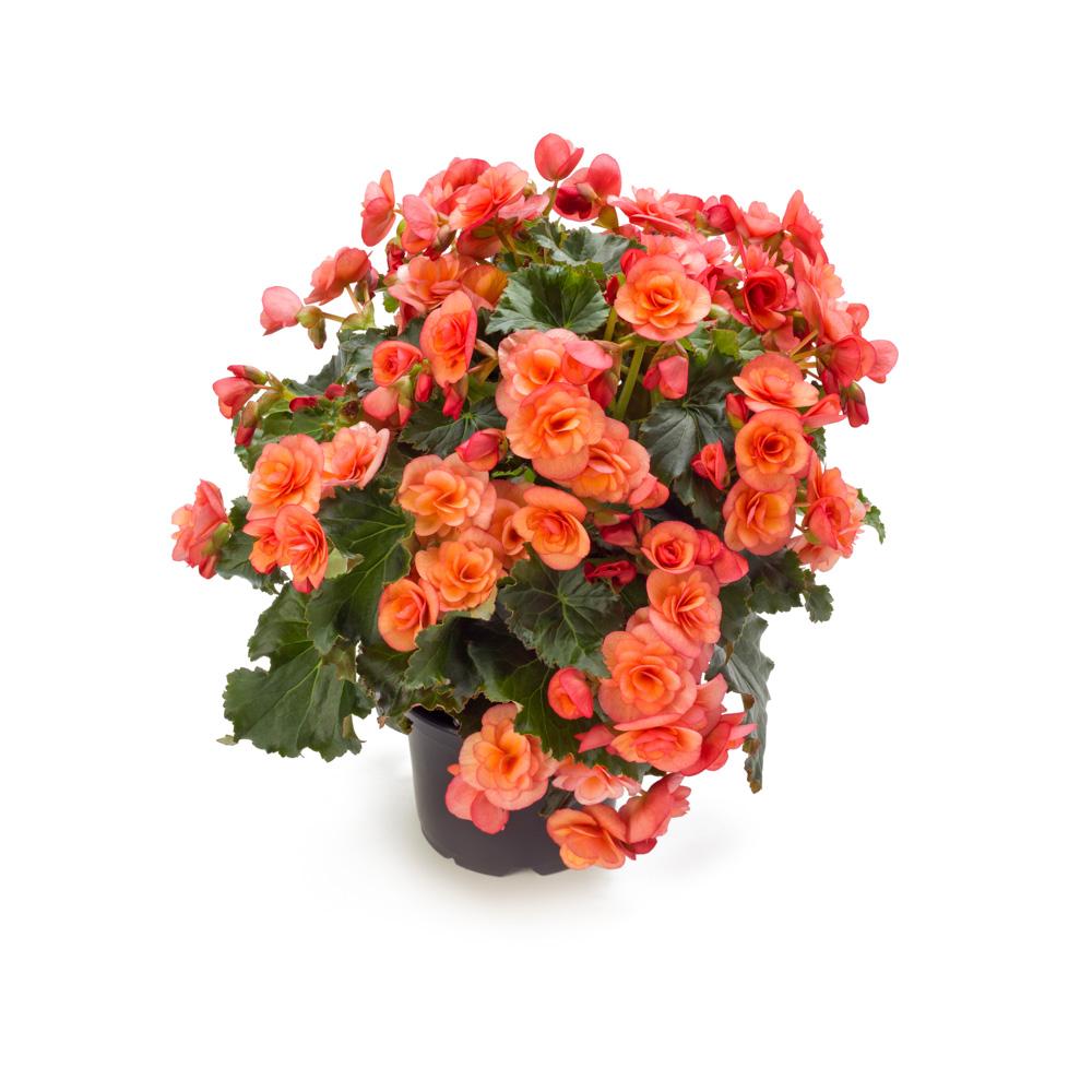 Begonia BK Collection Esmay Peach