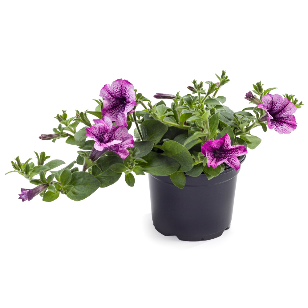 Petunia Tea Purple Vein℗