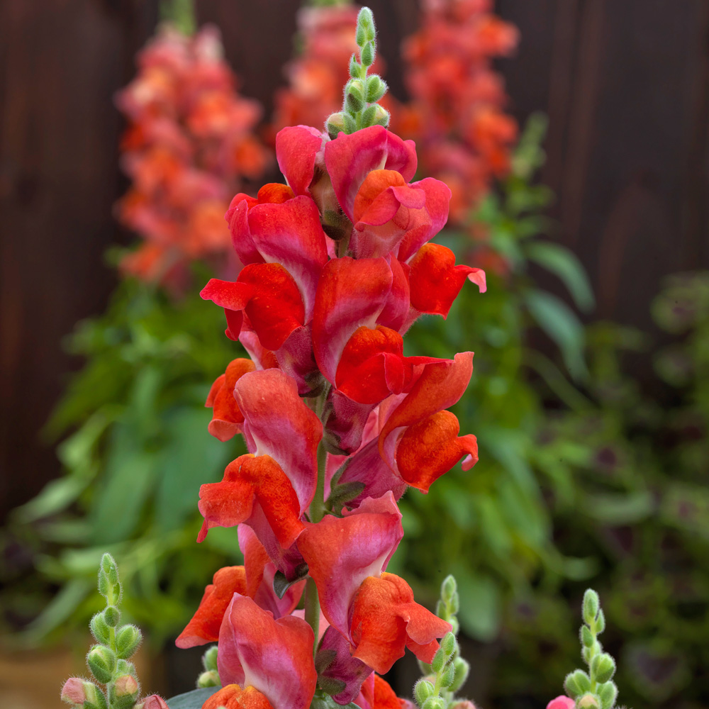 Antirrhinum Candy Tops Orange