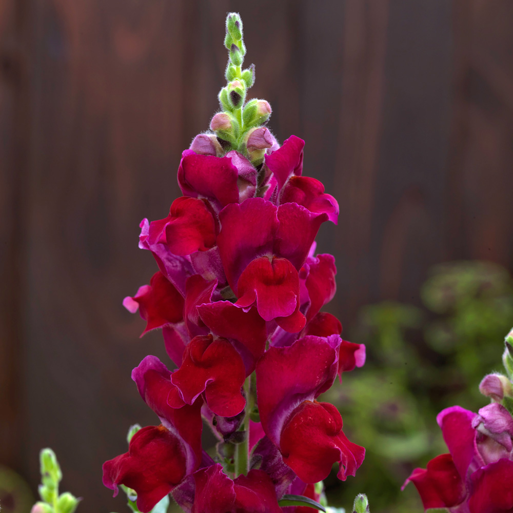 Antirrhinum Candy Tops Red