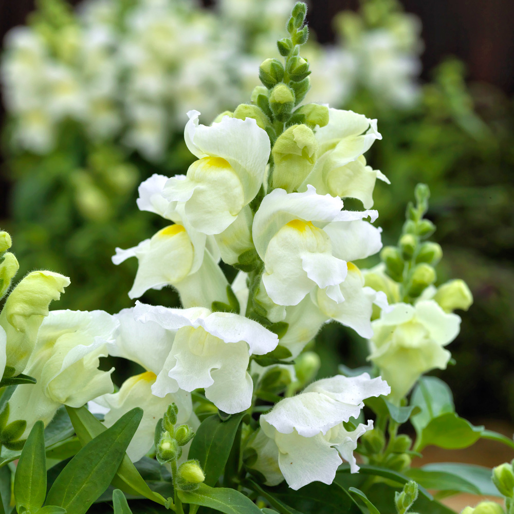 Antirrhinum Candy Tops White