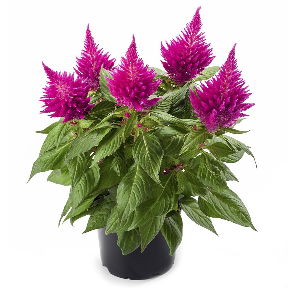 Celosia Kelos Fire Pink Beekenkamp Plants
