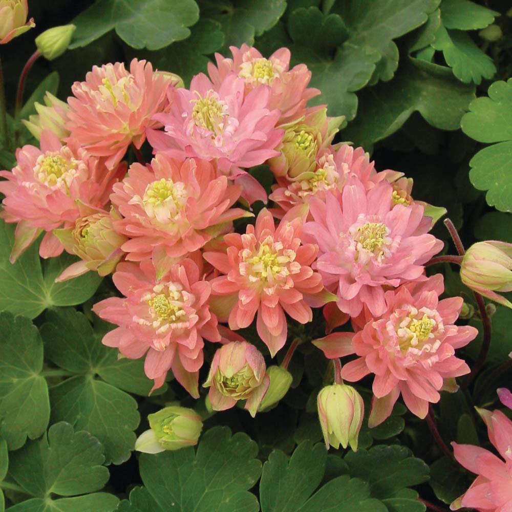 Aquilegia Clementine Salmon Rose