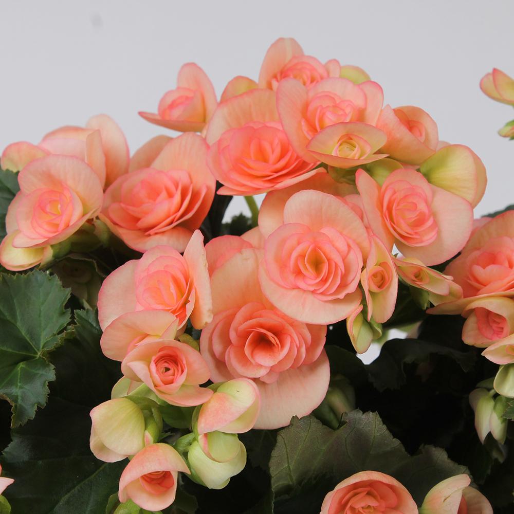 Begonia Ilona Collection Nicole Stone℗