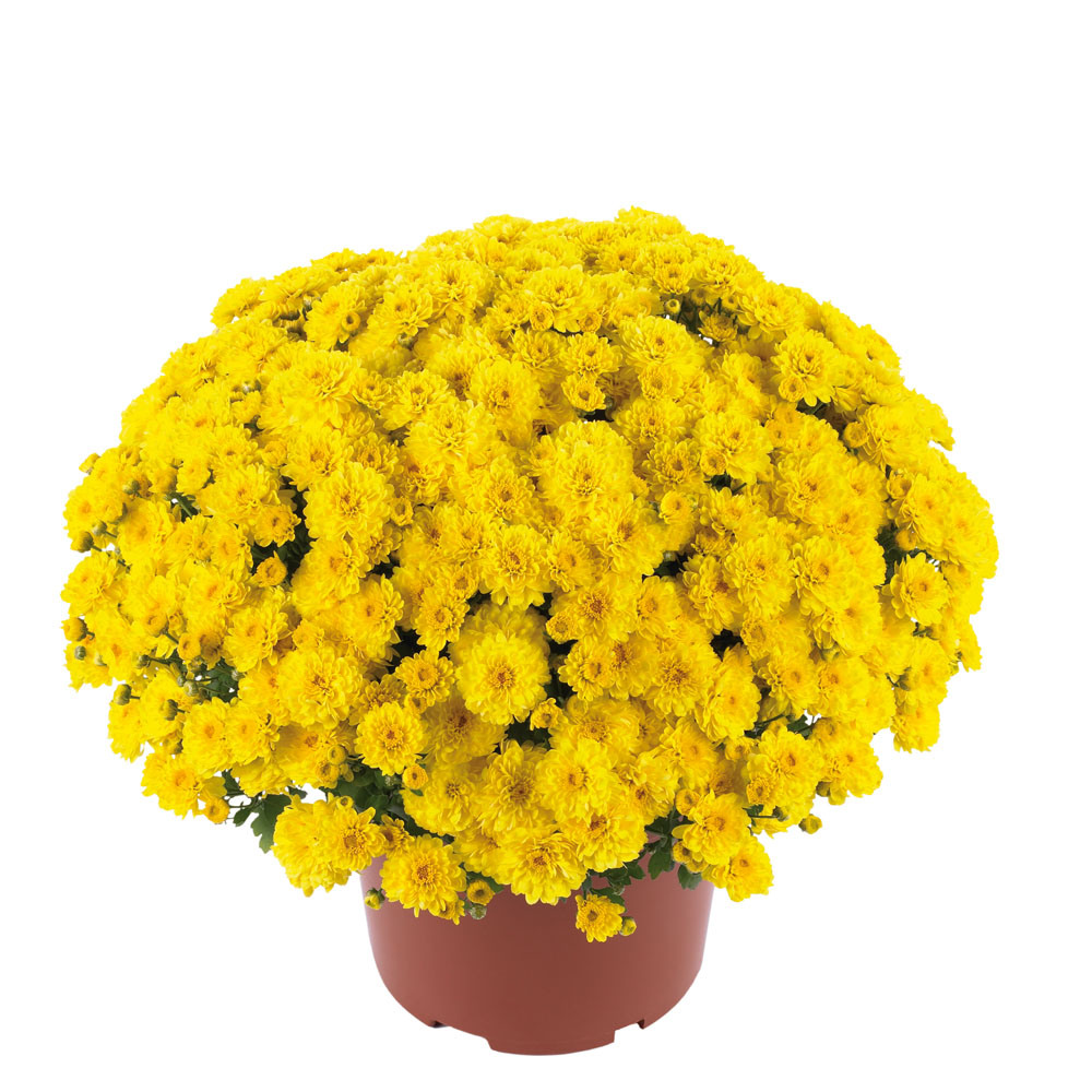 Garden Mum Chrysant Gigi Yellow Beekenkamp Plants