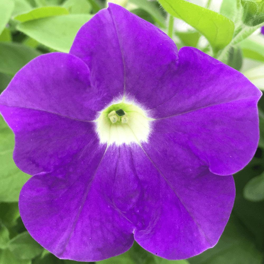 Petunia Surfinia® Classic Blue Ocean℗