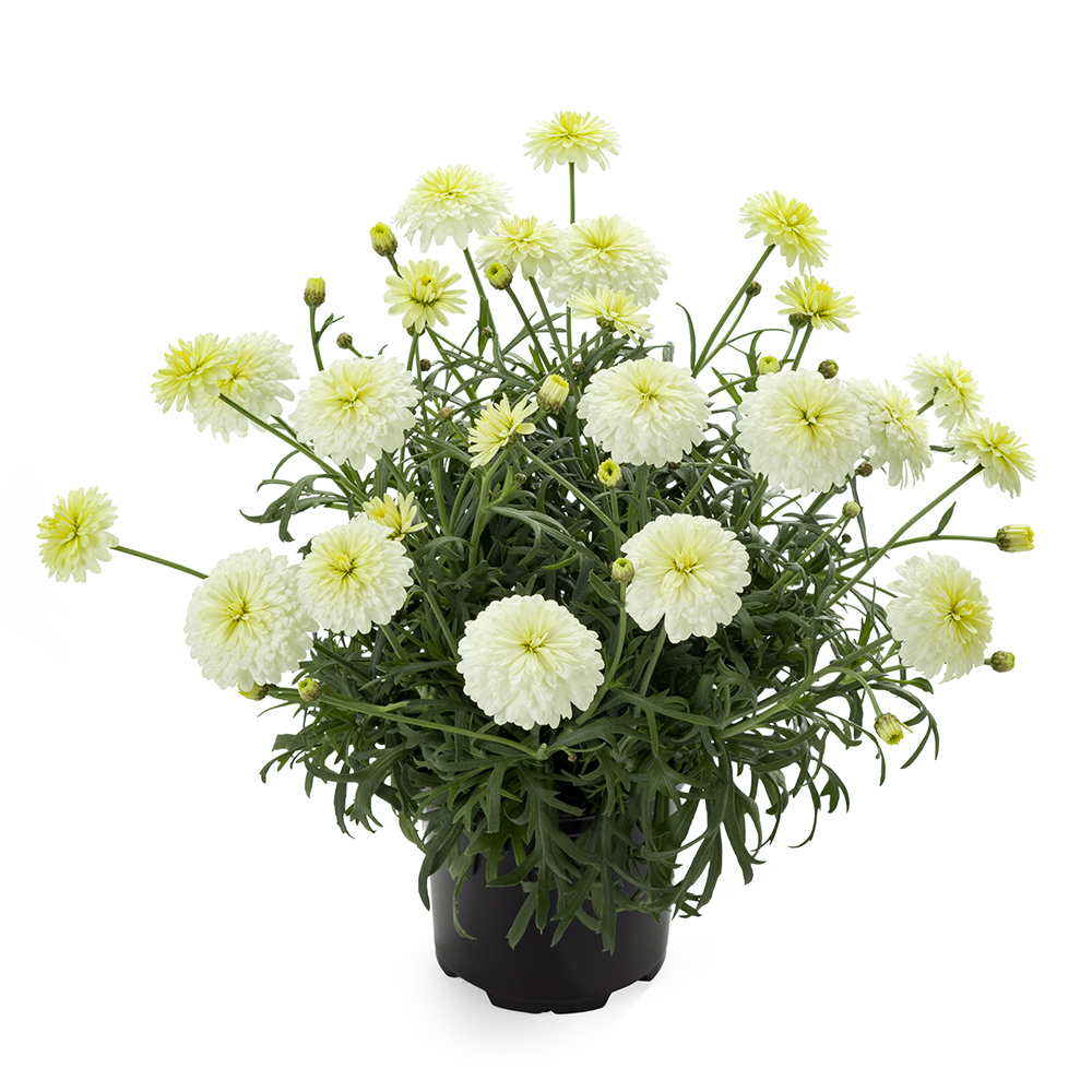 Argyranthemum Percussion Double Lemon℗