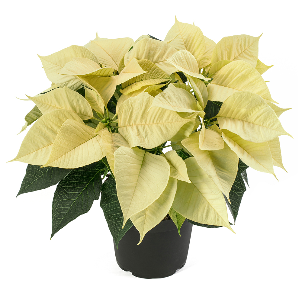 Euphorbia Leona White℗