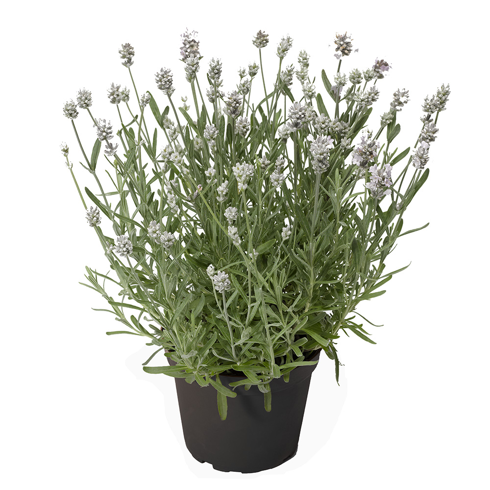 Lavandula Scent Early White