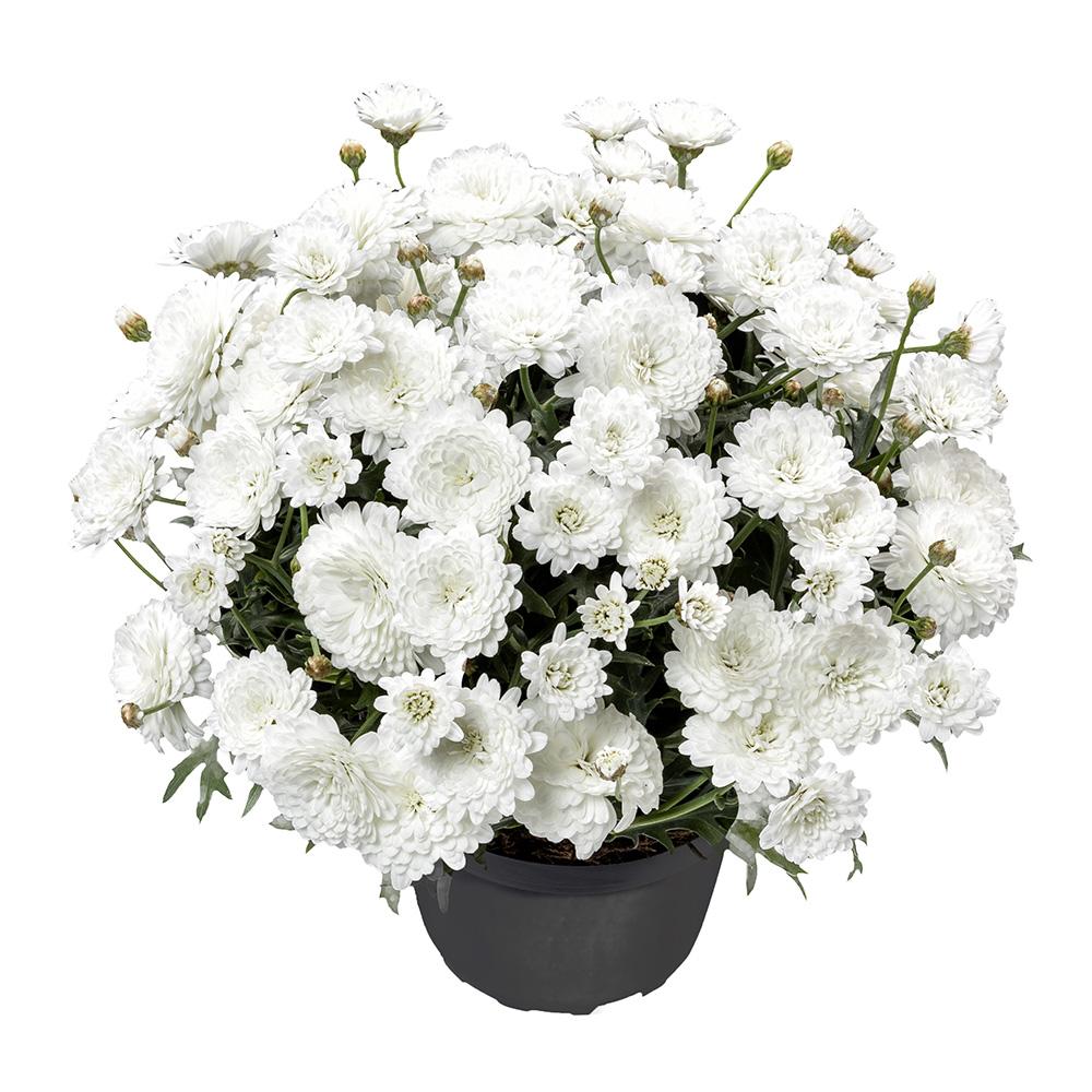 Argyranthemum Percussion Double White℗