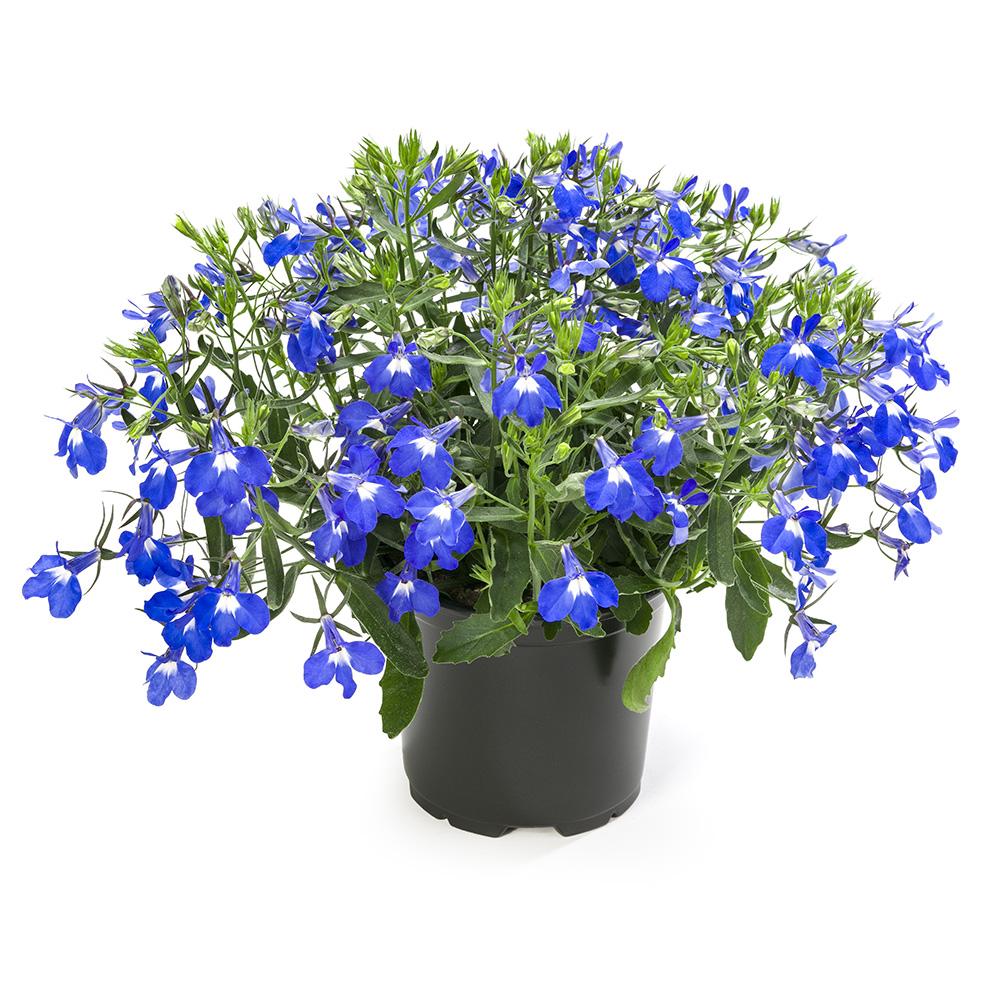 Lobelia Hot Giant Blue Beekenkamp Plants