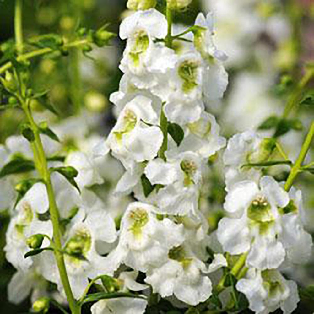Angelonia Serenita White