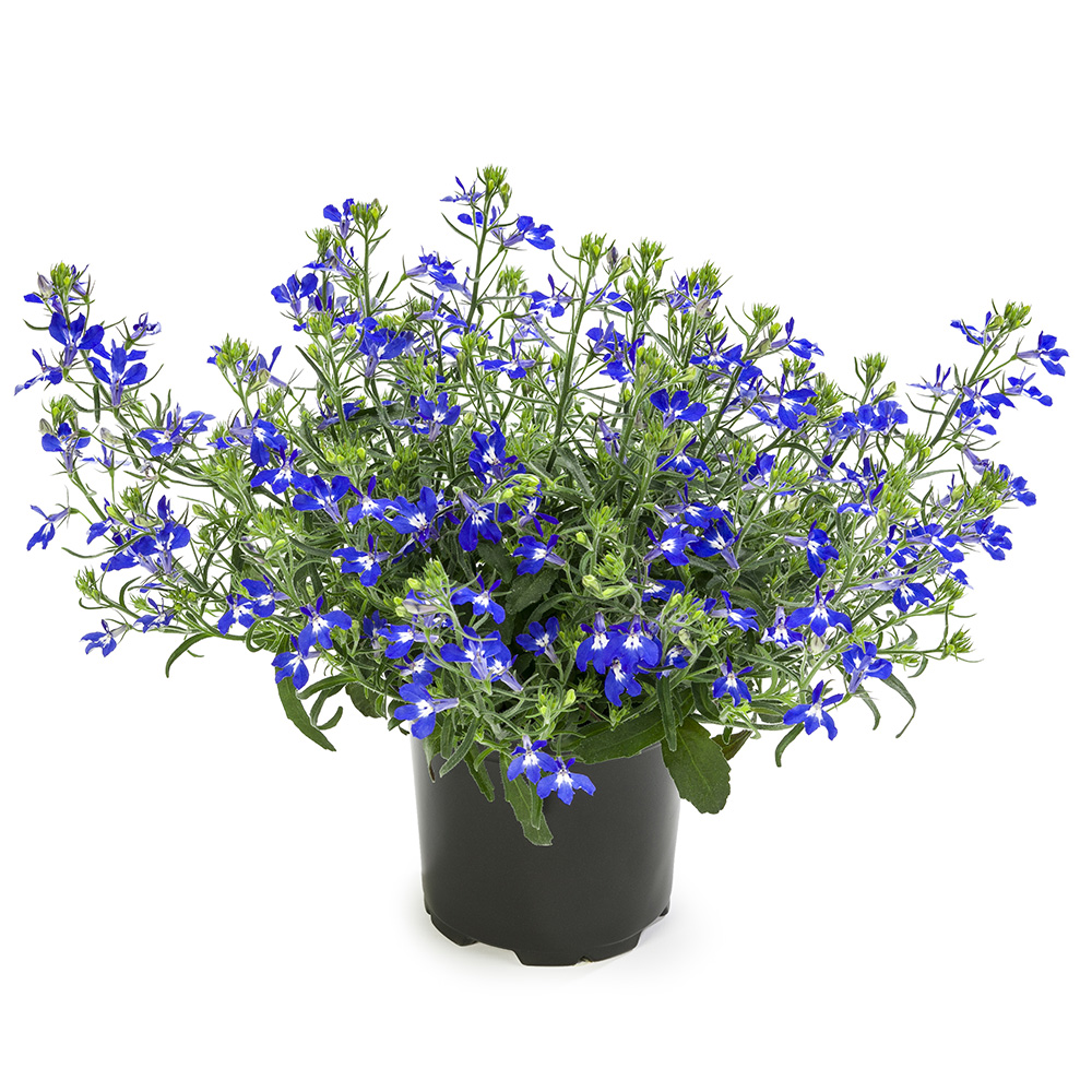 Lobelia Hot Blue Beekenkamp Plants