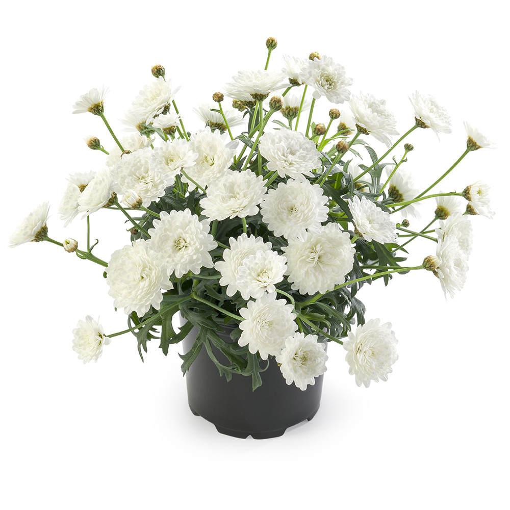 Argyranthemum Percussion Double White℗