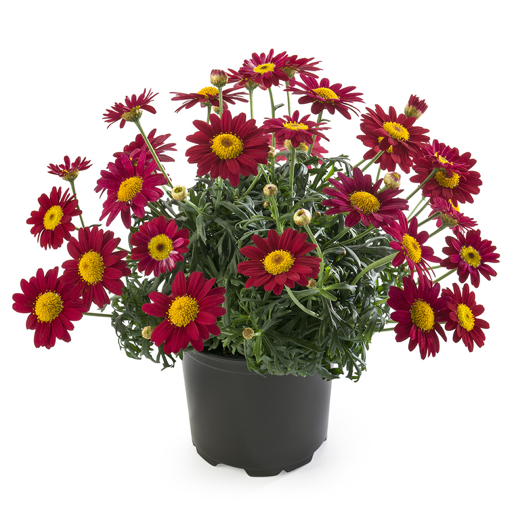 Argyranthemum Percussion Scarlet℗