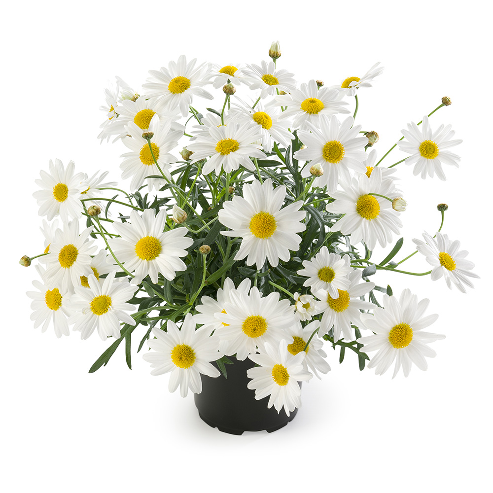 Argyranthemum Percussion Xl White℗