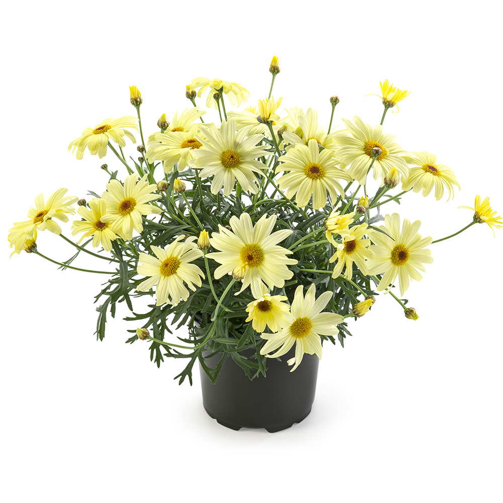 Argyranthemum Percussion Teddy Lemon℗