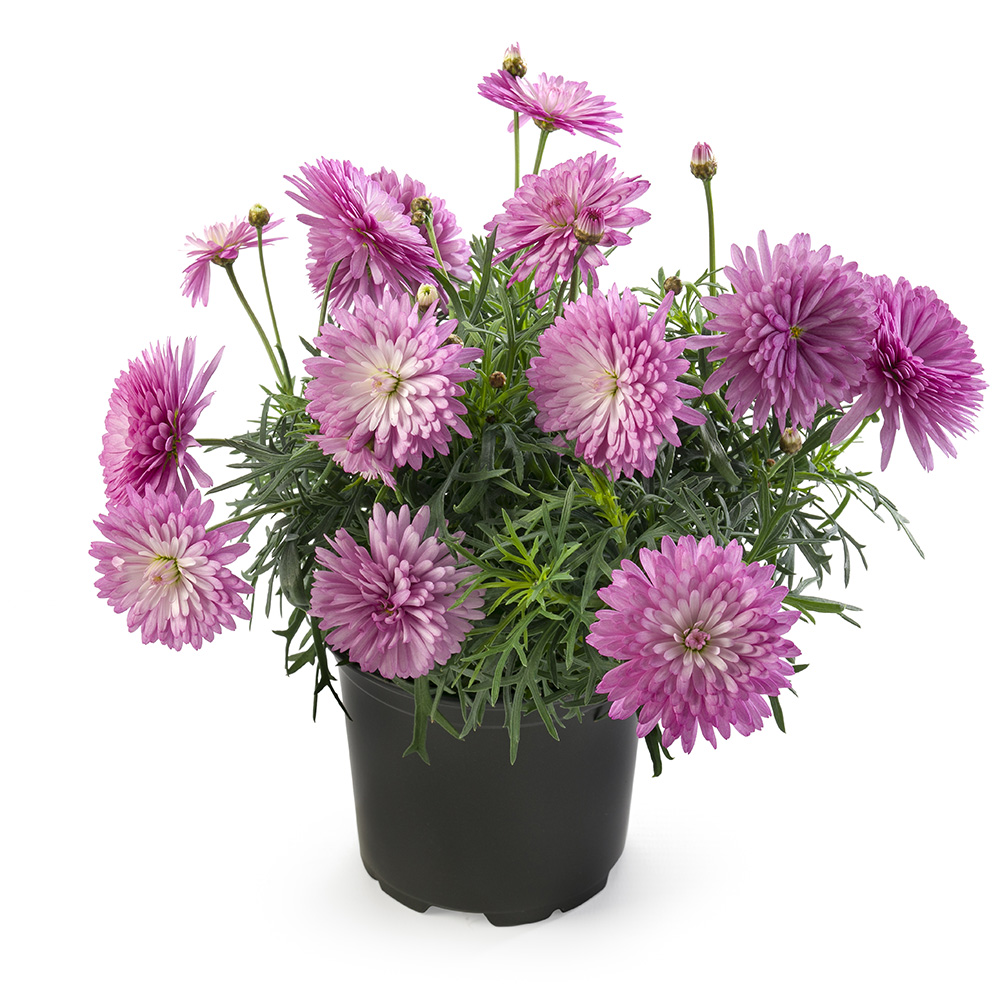 Argyranthemum Percussion Double Rose℗