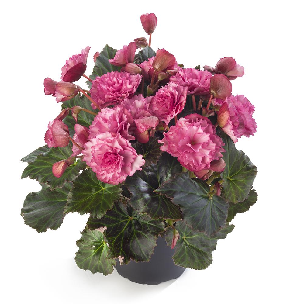 Begonia BK Collection Frivola Pink℗