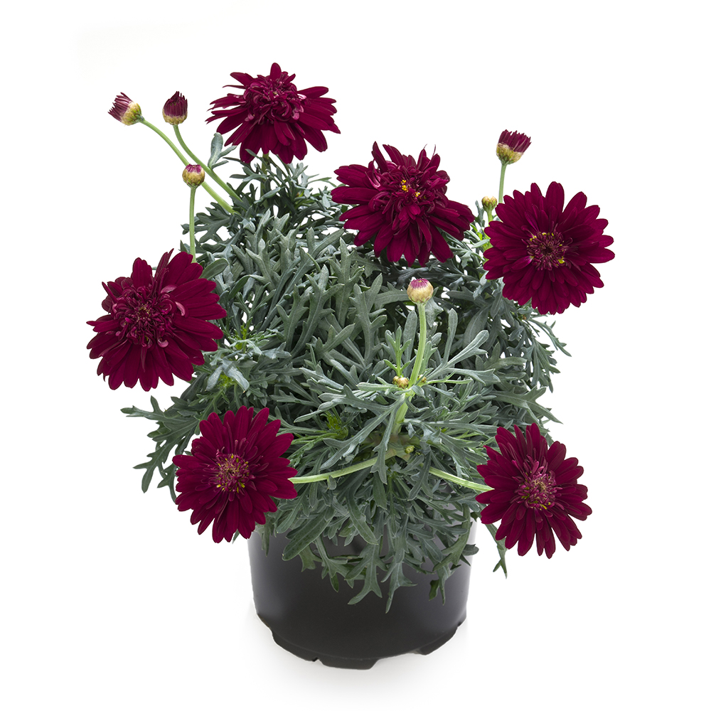 Argyranthemum Percussion Double Red℗