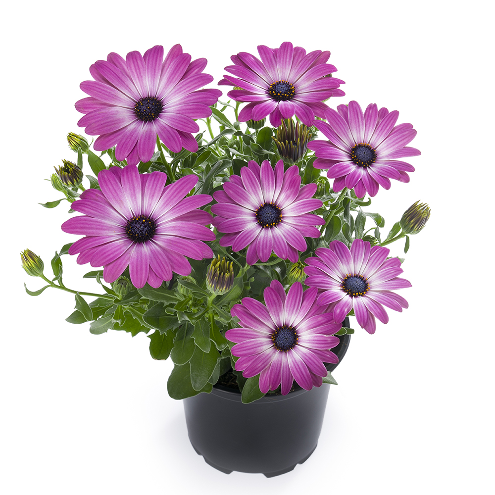 Osteospermum Sunny Violet Halo℗