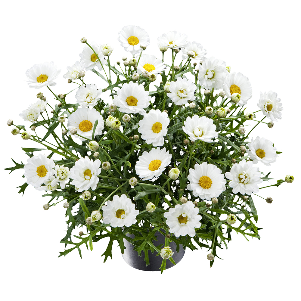 Argyranthemum Percussion White℗