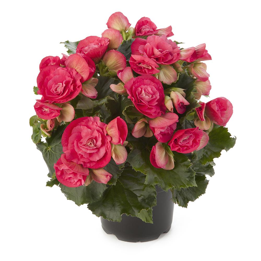 Begonia Barkos-Collection Binos Pink℗