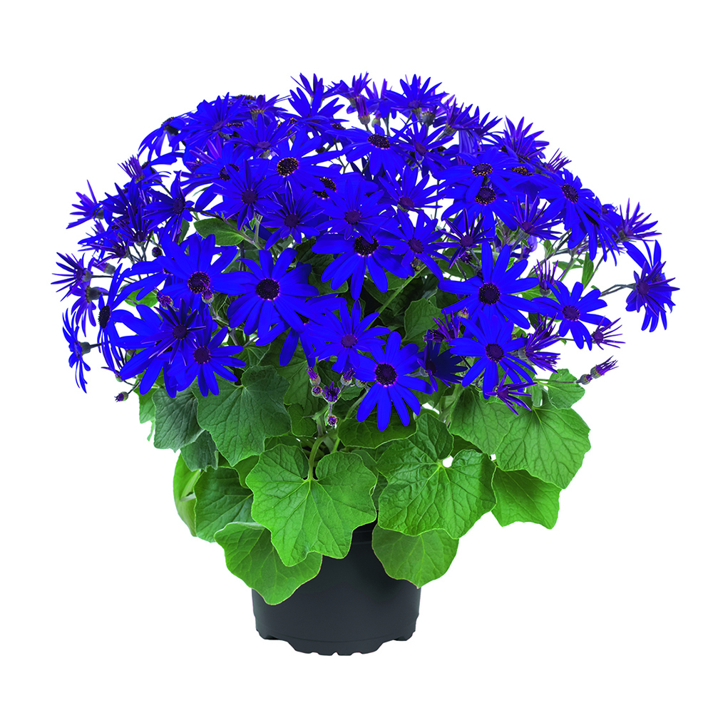 Pericallis Senetti® Deep Blue℗