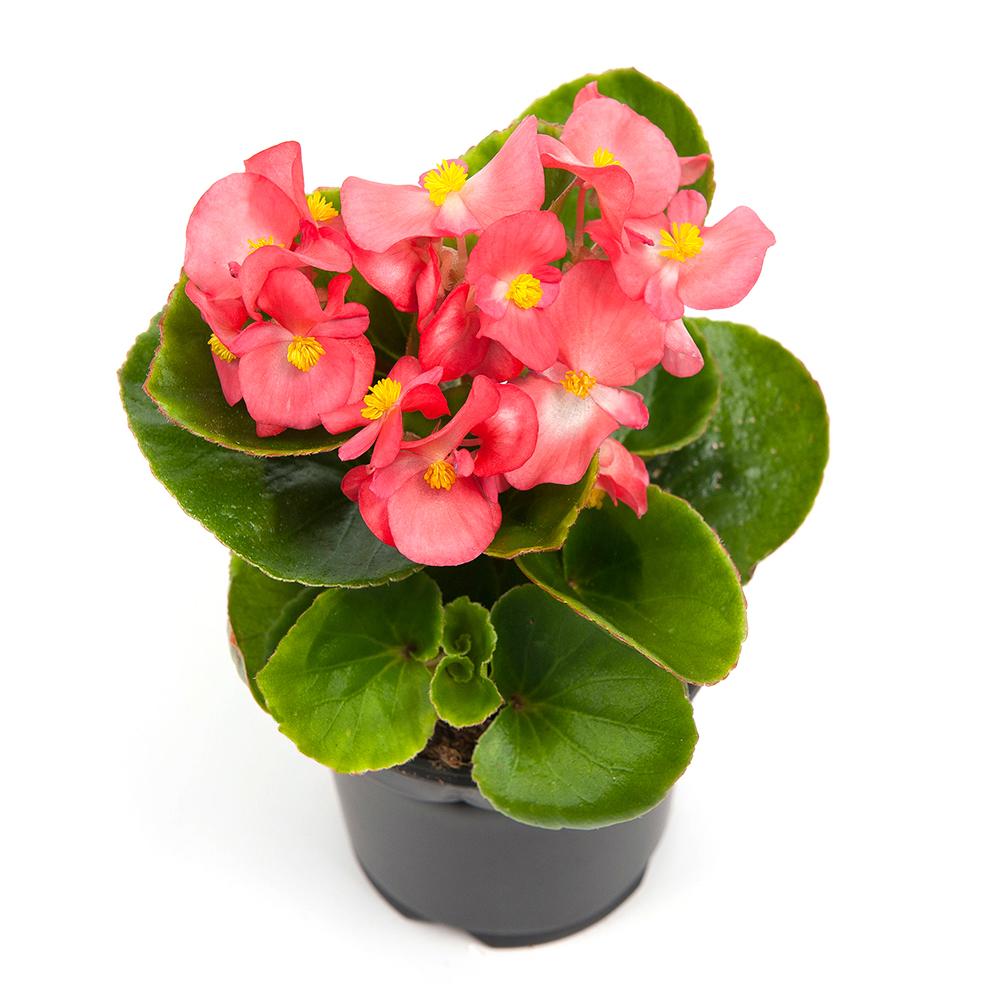Begonia Ambassador Coral