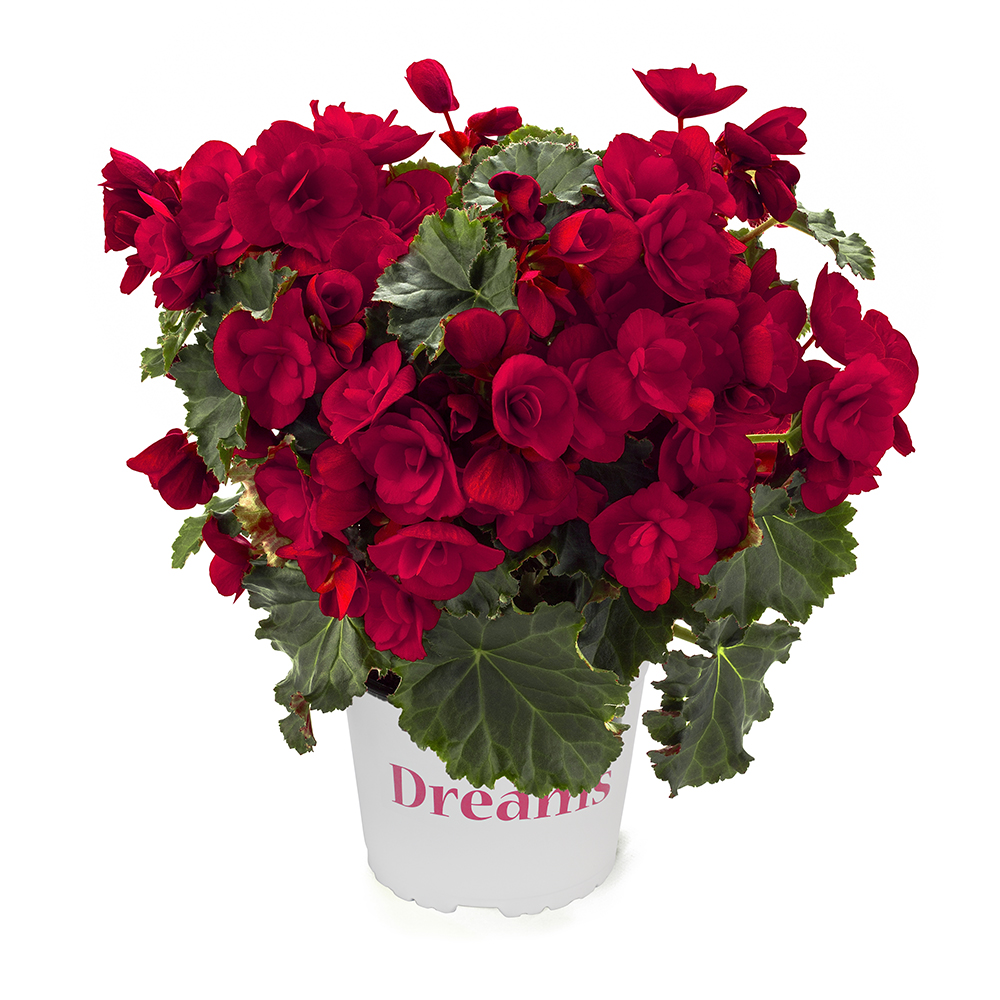 Begonia BK Collection Vermillion Red℗