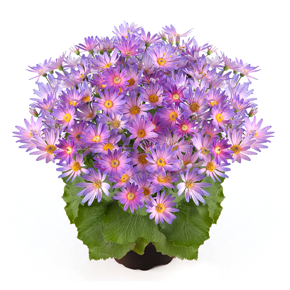 Pericallis Senetti® Magic Salmon℗