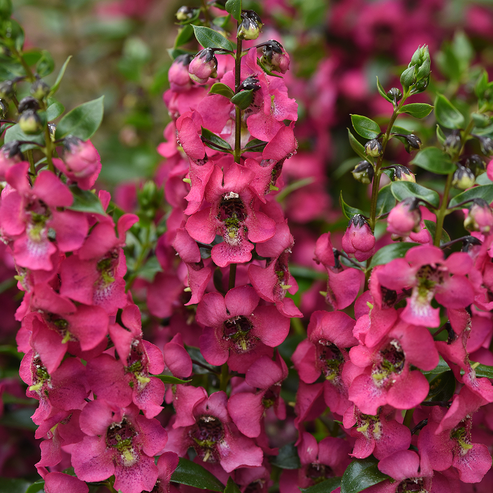 Angelonia Serenita Rose