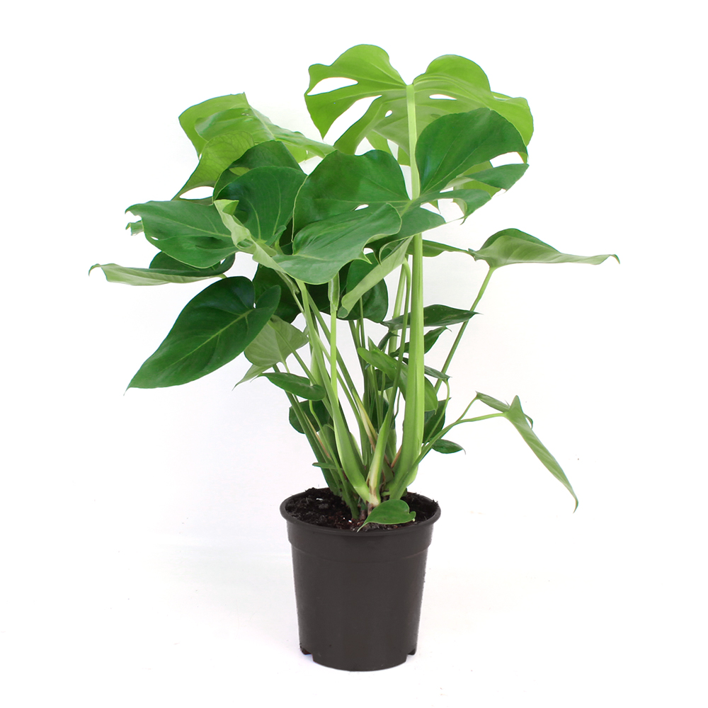 Monstera Tauerii