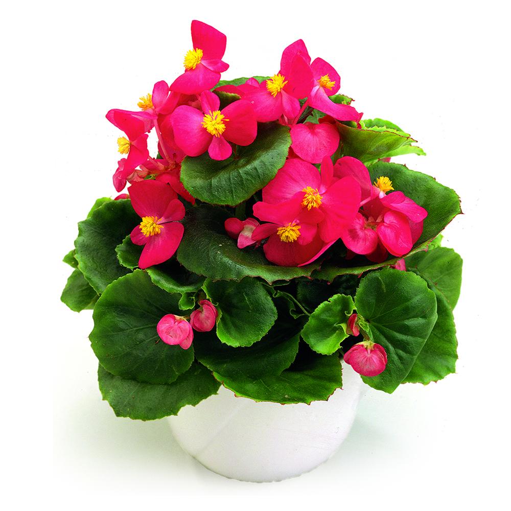 Begonia Ambassador Rose