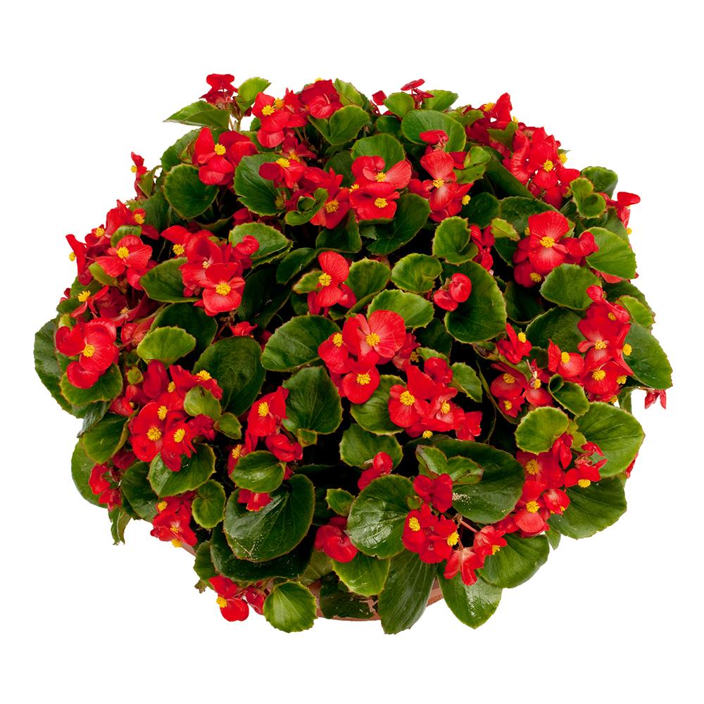 Begonia Ambassador Scarlet