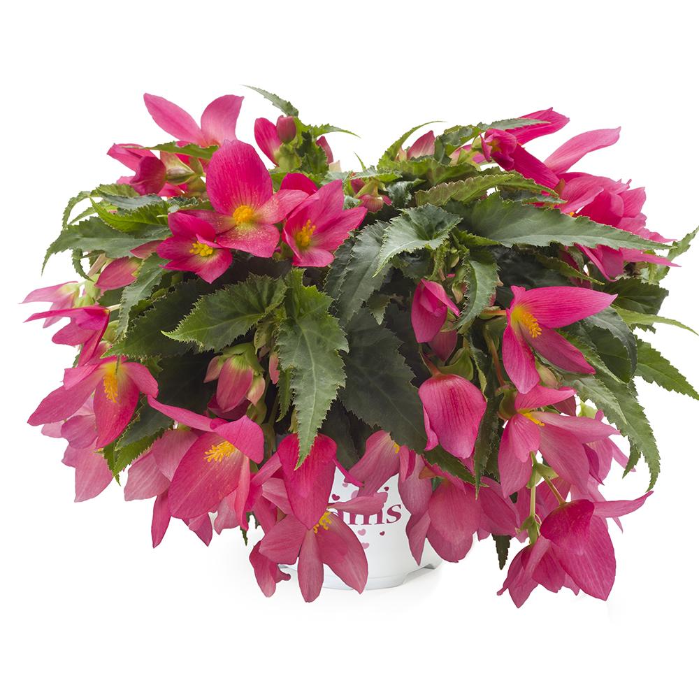 Begonia Beauvilia® Hot Pink℗