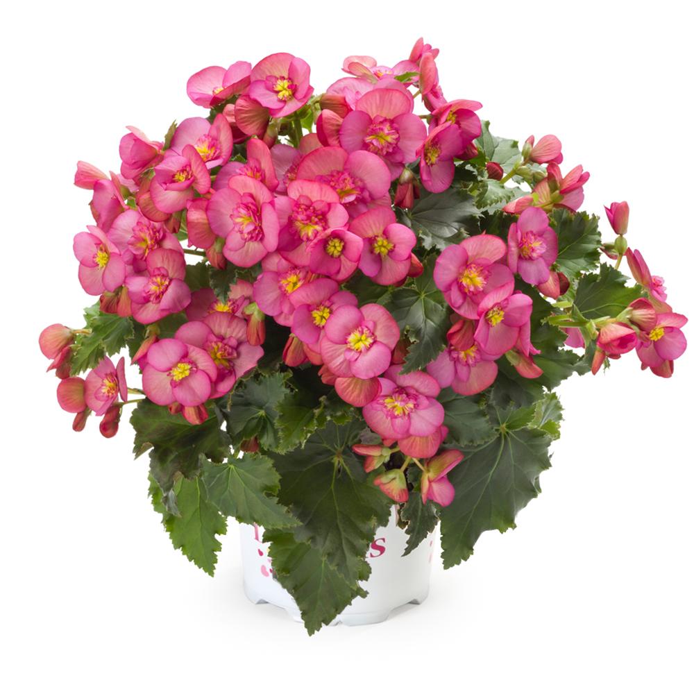 Begonia Dreams® Garden Macarose℗
