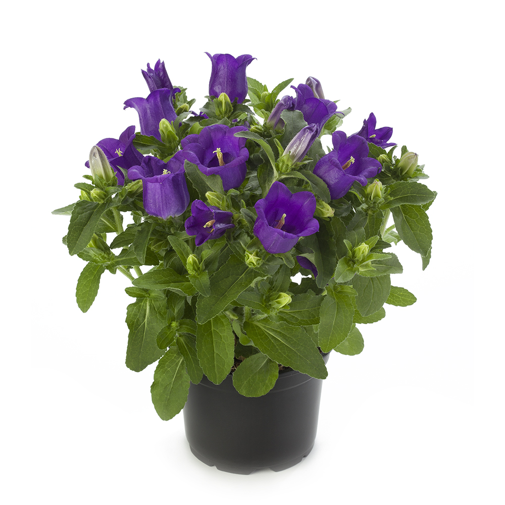 Campanula Appeal Deep Blue