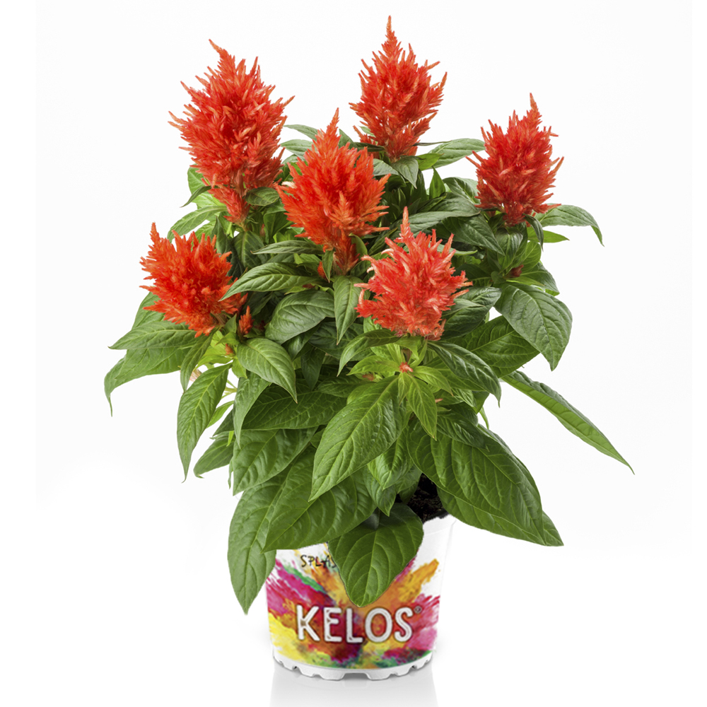 Celosia Kelos® Fire Orange℗