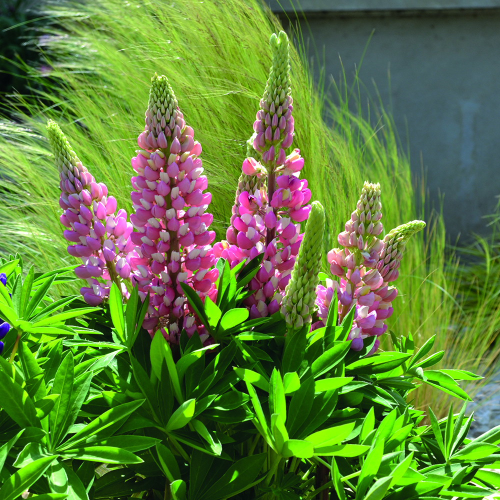 Lupine Mini Gallery Bicolor Pink