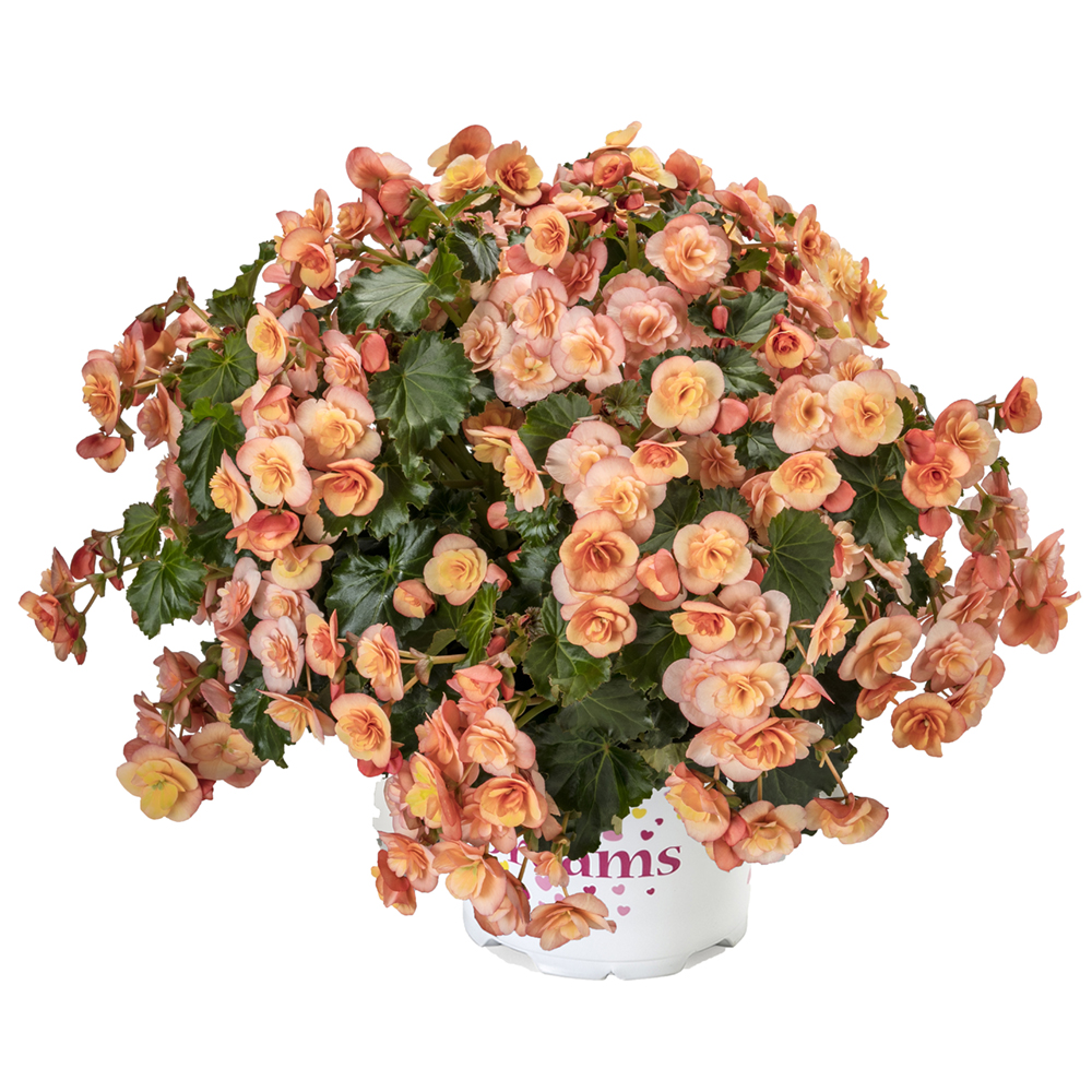 Begonia BK Collection Esmay Peach℗