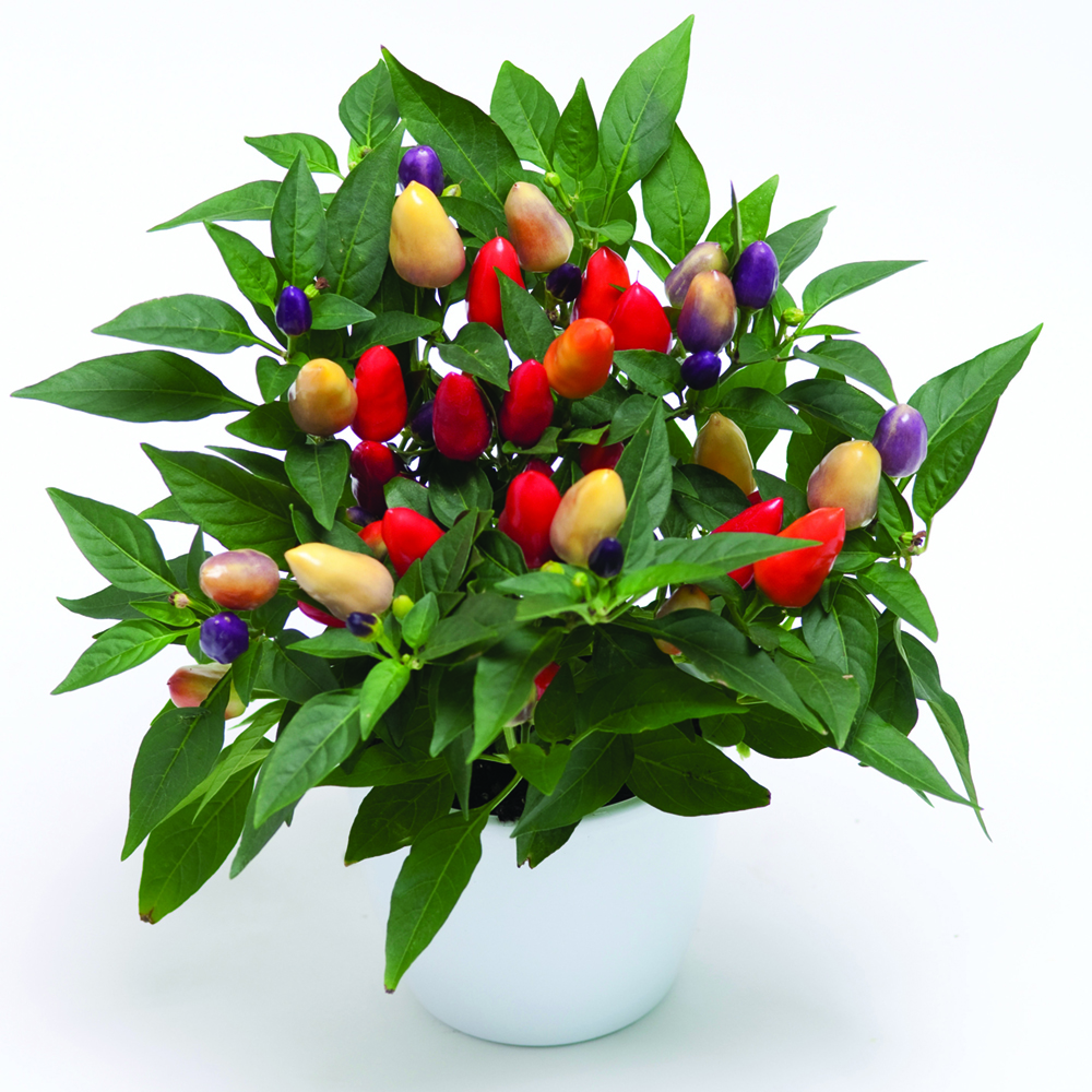 Capsicum Cubana Multicolor Red